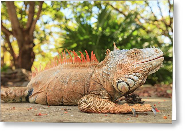 Green Iguana Farm, East End Of Roatan Greeting Card by Stuart Westmorland