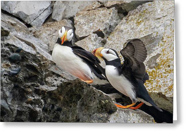 Horned Puffin Pair 2 Greeting Card
