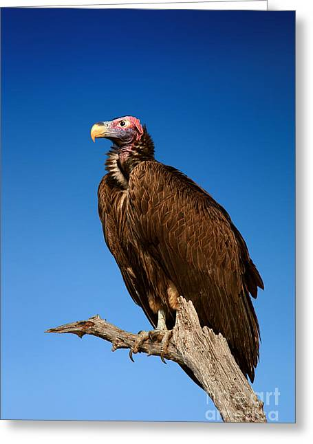 Lappetfaced Vulture Against Blue Sky Greeting Card