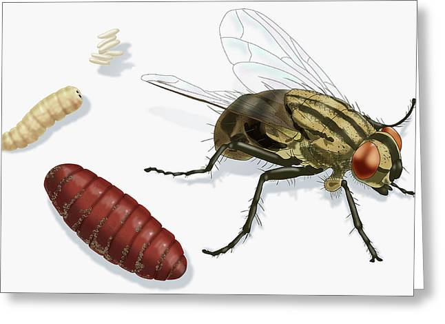 Life Stages Of A House Fly, Illustration Greeting Card by Monica Schroeder