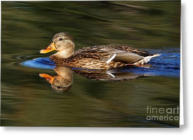 Greeting Card featuring the photograph Mallard Duck by Sue Harper