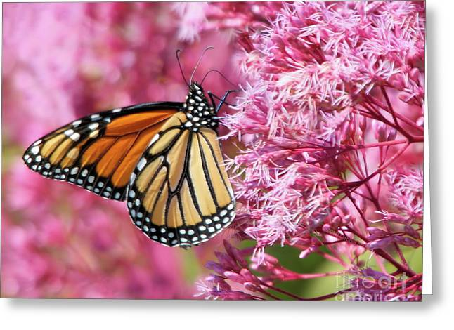 Greeting Card featuring the photograph Monarch Butterfly by Debbie Stahre