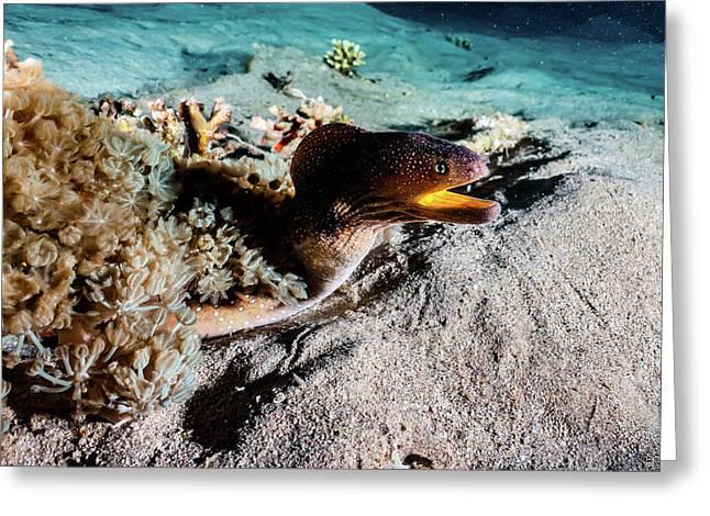 Moray Eel Mooray Lycodontis Undulatus In The Red Sea, Eilat Israel Greeting Card