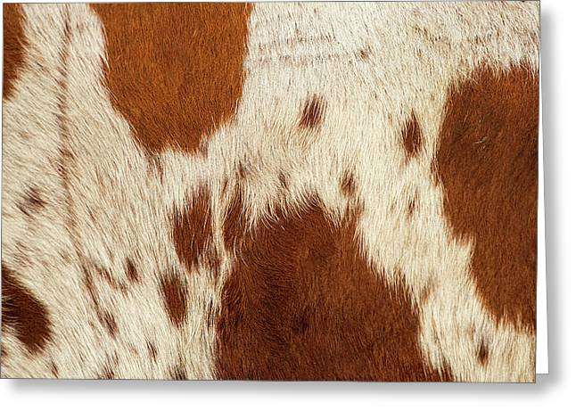 Greeting Card featuring the photograph Pattern Of A Longhorn Bull Cowhide. by Rob D Imagery