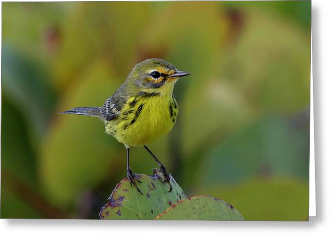 Prairie Warbler Greeting Card