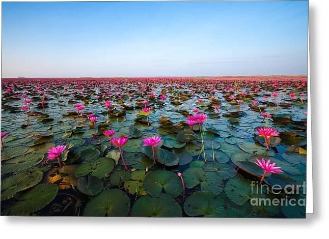 Sea Of Red Lotus , Marsh Red Lotus Greeting Card