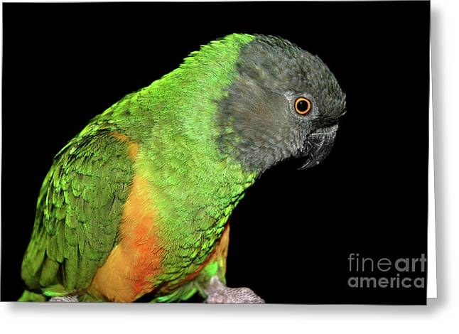 Greeting Card featuring the photograph Senegal Parrot by Debbie Stahre