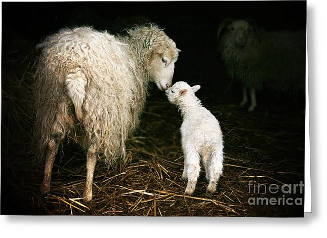 Sheep With A Lamb Standing In The Greeting Card