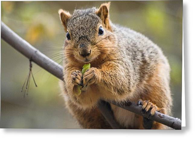 Snacking Squirrel Greeting Card