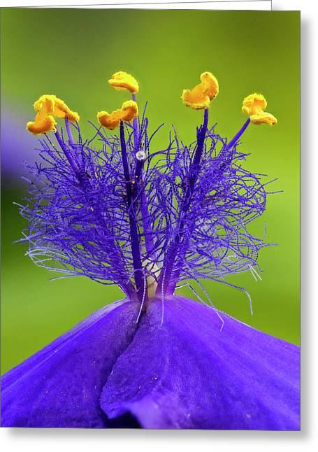 Spiderwort Flower Close-up, Tradescantia Greeting Card