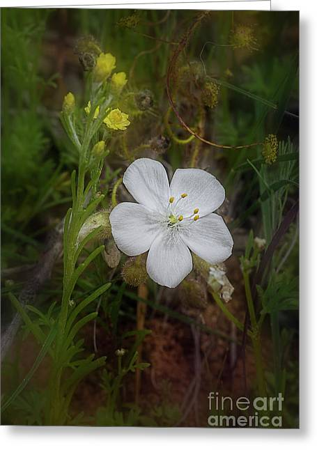 Greeting Card featuring the photograph Sundew by Elaine Teague