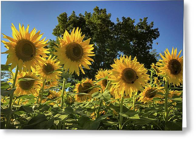 Sunlit Sunflowers Greeting Card