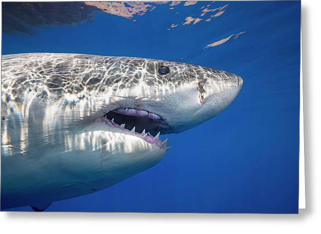 This Great White Shark  Carcharodon Greeting Card