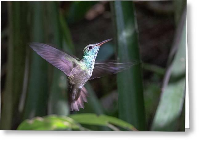 Versicolored Emerald Hummingbird Hovers Greeting Card