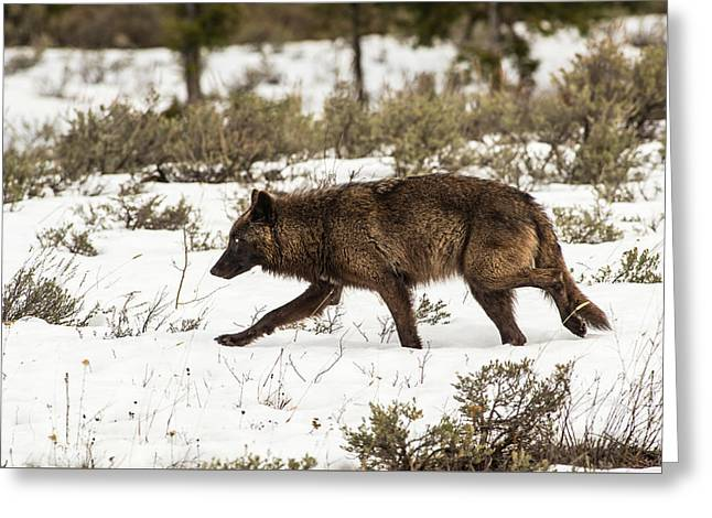 Greeting Card featuring the photograph W10 by Joshua Able's Wildlife