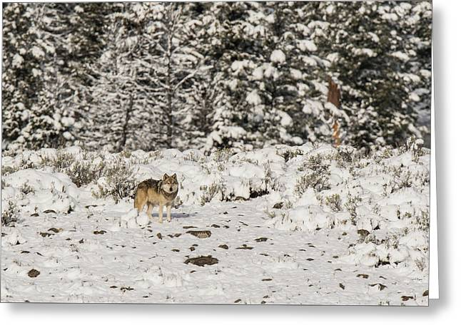 Greeting Card featuring the photograph W20 by Joshua Able's Wildlife