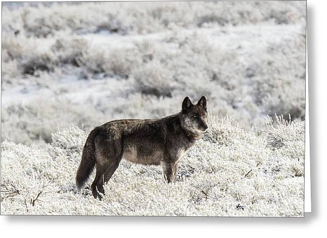 Greeting Card featuring the photograph W23 by Joshua Able's Wildlife