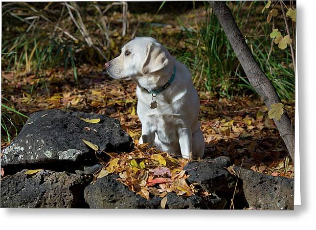 Yellow Labrador Retriever Greeting Card by William Mullins