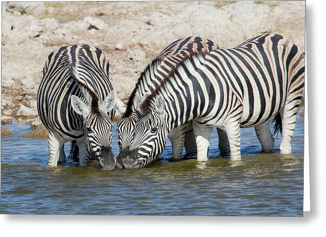 Zebras Lined Up Drinking At Waterhole Greeting Card by Darrell Gulin