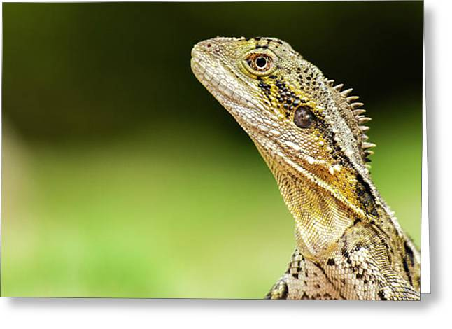 Greeting Card featuring the photograph Eastern Water Dragon Lizard by Rob D Imagery