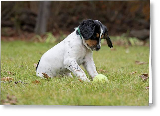 English Setter Puppy, 8 Weeks Greeting Card by William Mullins