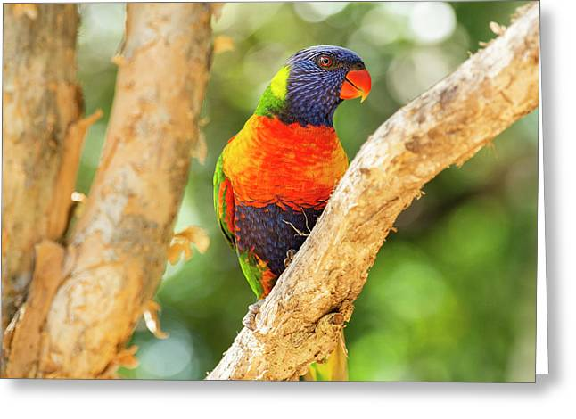 Greeting Card featuring the photograph Rainbow Lorikeet by Rob D Imagery