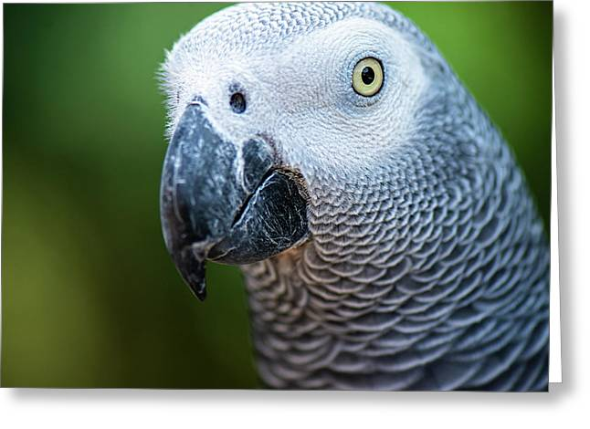 Greeting Card featuring the photograph African Grey Parrot by Rob D Imagery
