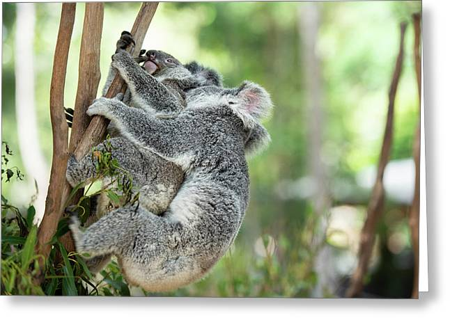 Greeting Card featuring the photograph Australian Koalas by Rob D Imagery