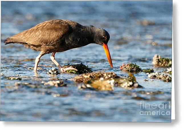 Greeting Card featuring the photograph Black Oystercatcher by Sue Harper