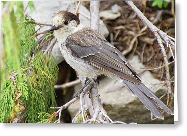 Camprobber - The Gray Jay Greeting Card