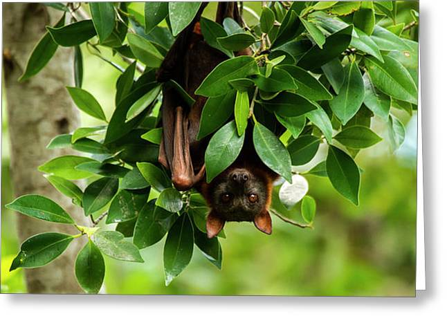 Greeting Card featuring the photograph Flying Fox Bat by Rob D Imagery