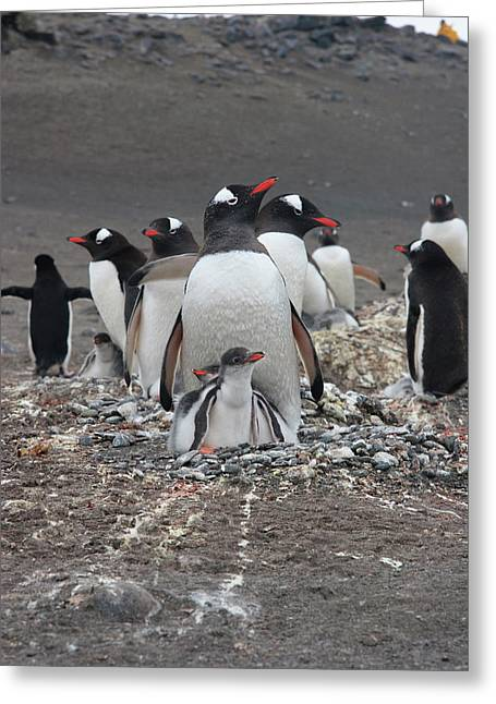 Gentoo Penguin Barrientos Island, South Greeting Card by Tom Norring