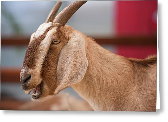Greeting Card featuring the photograph Goat by Rob D Imagery