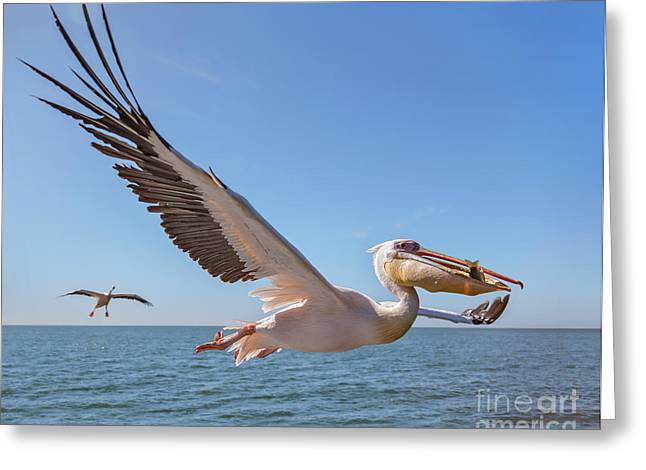 Great White Pelican Catches Fish Thrown Greeting Card