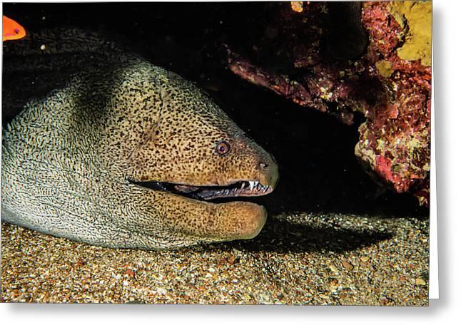 Moray Eel Mooray Lycodontis Undulatus In The Red Sea Greeting Card