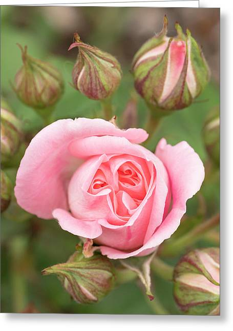 Pink Rose, International Rose Test Greeting Card by William Sutton