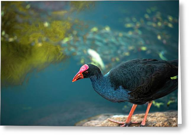 Greeting Card featuring the photograph Purple Swamphen by Rob D Imagery