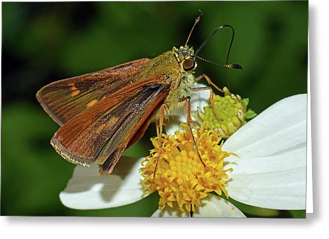 Skipper Butterfly Greeting Card