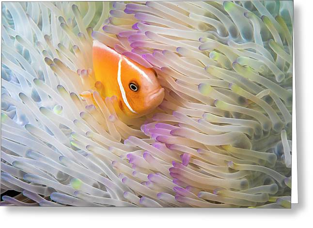 This Common Anemonefish  Amphiprion Greeting Card