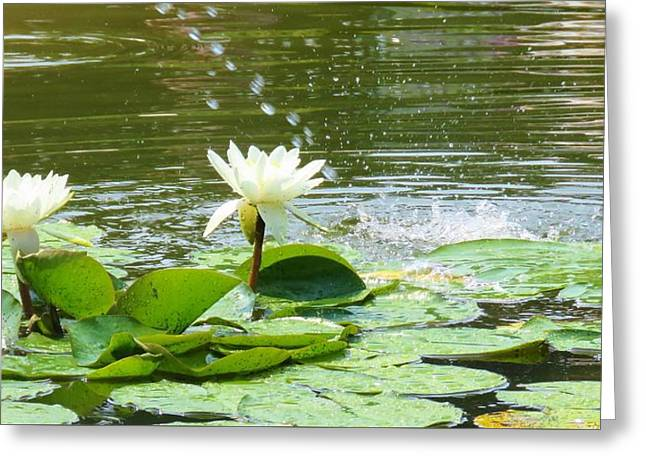 2 White Water Lilies Greeting Card