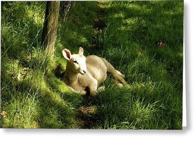 20/06/14  Keswick. Lamb In The Woods. Greeting Card