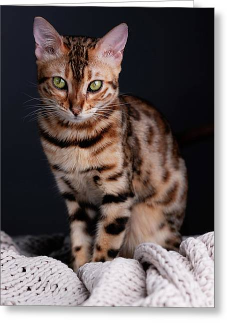 Bengal Cat Portrait Greeting Card
