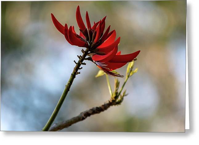 Coral Tree Flowers Greeting Card