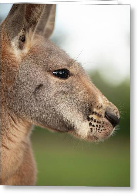 Greeting Card featuring the photograph Kangaroo Outside During The Day Time. by Rob D Imagery
