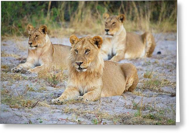 Greeting Card featuring the photograph 3 Lions by John Rodrigues