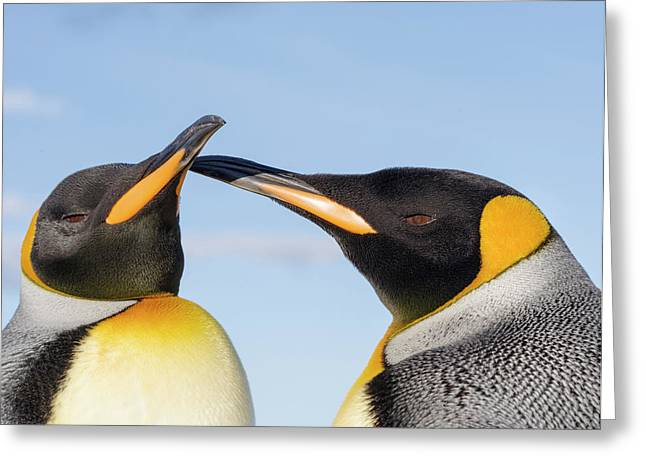 King Penguin On The Falkland Islands Greeting Card by Martin Zwick