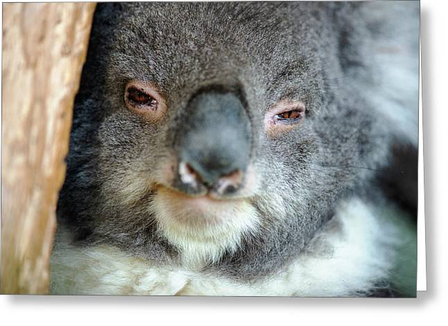 Greeting Card featuring the photograph Cute Australian Koala Resting During The Day. by Rob D Imagery