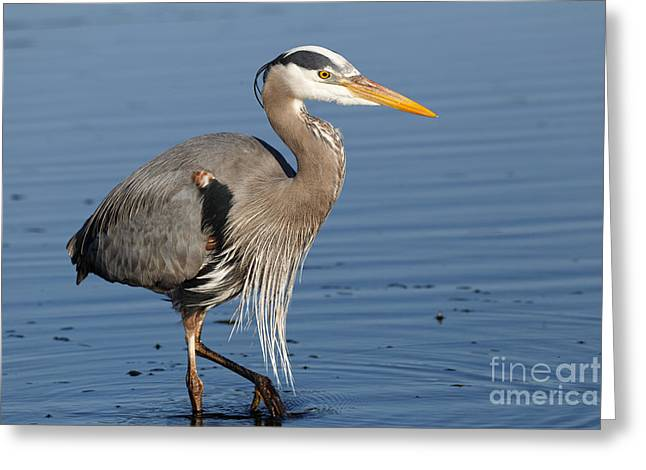 Greeting Card featuring the photograph Great Blue Heron by Sue Harper