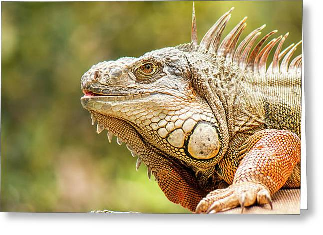 Greeting Card featuring the photograph Green Iguana by Rob D Imagery