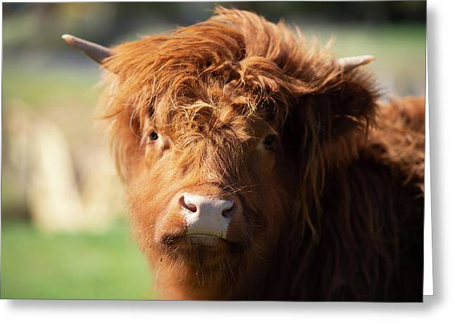 Greeting Card featuring the photograph Highland Cow On The Farm by Rob D Imagery